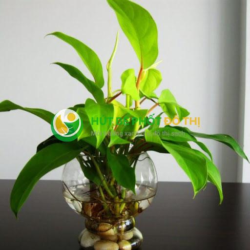 Cây cực kì dễ trồng và dễ sống, hợp với môi trường ít ánh nắng trực tiếp như nhà vệ sinh