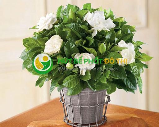 Cây Hoa Dành Dành còn có tên gọi khác là cây Hoa Chi Tử