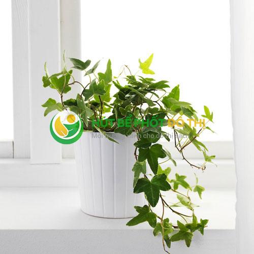 Cây Thường Xuân leo có tác dụng làm sạch không khí